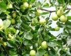 Cây ăn quả