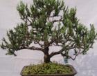 Cây Bonsai - cây thế