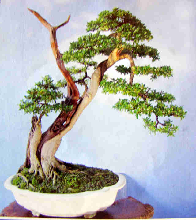 Cây cảnh nghệ thuật bonsai