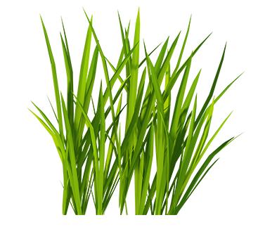 Giống cỏ chăn nuôi
