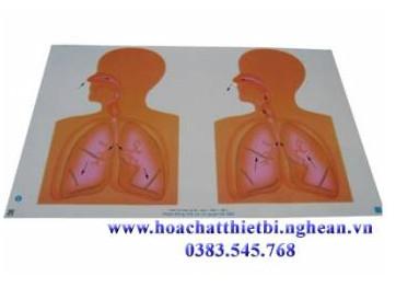 Tranh cơ quan hô hấp