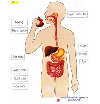Tranh cơ quan tiêu hóa
