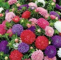 Hạt giống hoa cúc Đài Loan