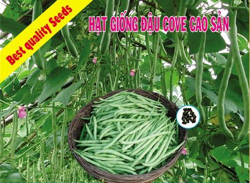 Hạt giống đậu ve cao sản