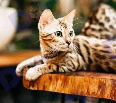 Mèo vằn hổ
