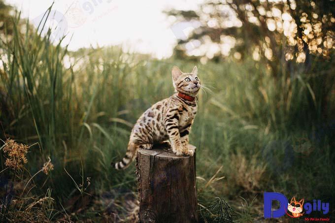Mèo bengal