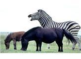 Giống ngựa lai tạo