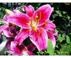 Hoa Ly Hồng Đà Lạt