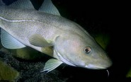 Hương Cá tuyết ( Snow fish)