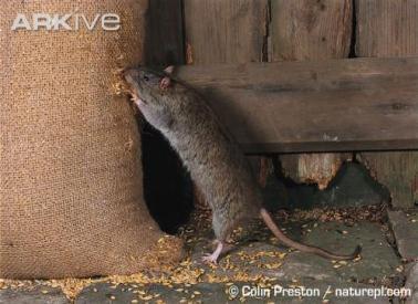 Kiểm soát và tiêu diệt chuột