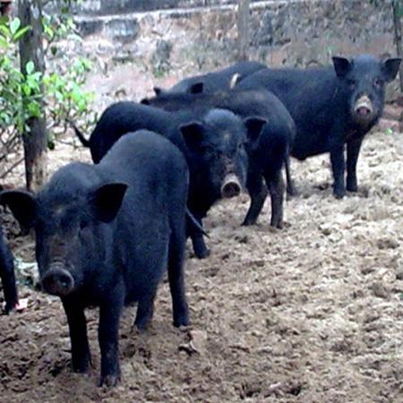 Giống Lợn Đen