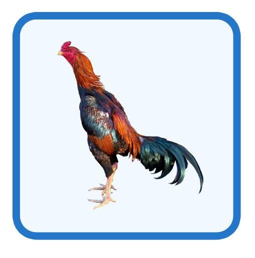 Sp gà nòi