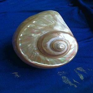 Vỏ Ốc Green Nail Shell